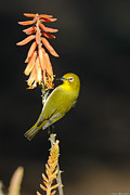 Japanese White Eye Posters - Japanese White-eye on Flower Poster by Avian Resources