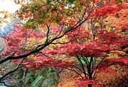 Gerry Bates - Japnese Maples in Fall