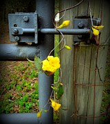 Renee Trenholm Posters - Jasmine Flowers on Gate Latch Poster by Renee Trenholm