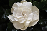 Gardenia Photos - Jasminoides Plena. by Terence Davis