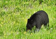 Gregory Dyer - Jasper National Park - Black Bear