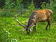 Gregory Dyer - Jasper National Park - Elk