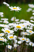 Yellow And Brown Posters - Jasper - Oxeye Daisy Wildflower 2 Poster by Terry Elniski