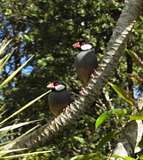 Colleen Cannon - Java Sparrows
