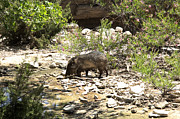 Ralph Brannan - Javelina at the Watering...