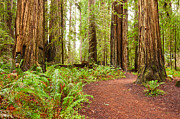 Jamie Pham Metal Prints - Jedediah Trail - Massive giant redwoods Sequoia sempervirens in Redwoods National Park. Metal Print by Jamie Pham