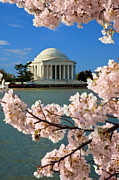 Cherry Blossoms Posters - Jefferson Memorial Cherry Trees Poster by Brian Jannsen