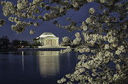 Reflections In River Prints - Jefferson Memorial framed by white cherry blossoms 11 Print by Mark Serfass