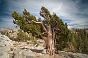 Doug Oglesby Acrylic Prints - Jeffrey Pine Acrylic Print by Doug Oglesby