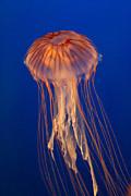Jelly Fish Print by Eti Reid