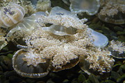 Jellyfish - National Aquarium In Baltimore Md - 121215 Print by DC Photographer
