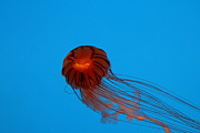 Aquatic Photo Prints - Jellyfish - National Aquarium in Baltimore MD - 121230 Print by DC Photographer