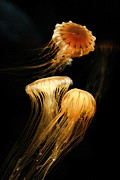 Angela Rath - Jellyfish Trio on Black