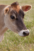 Jerseys Prints - Jersey Cow Portrait Print by Michelle Wrighton