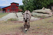 Barn Yard Framed Prints - Jerusalem Donkey And Barn Framed Print by Trent Mallett