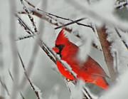 Red Bird In Snow Prints - Jewel In The Storm  Print by John Harding Photography