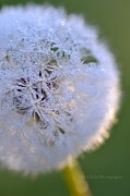 Hill and Dale Photography - Jeweled Dandelion