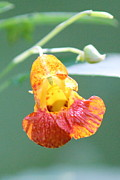 David Pickett - Jewelweed