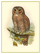 Stone Lithography Digital Art - John Gould Owl by Gary Grayson