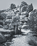 Joshua Tree - 09 Print by Gregory Dyer