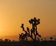 Antelope Framed Prints - Joshua Tree at Sunset Framed Print by Juli Scalzi