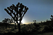 David Buchan - Joshua Tree