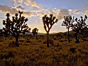 David Yunker Framed Prints - Joshua Tree Framed Print by David Yunker