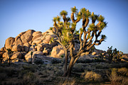 Things Light Framed Prints - Joshua Tree Framed Print by Doug Oglesby