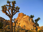 Joshua Tree National Park Framed Prints - Joshua Tree Five Framed Print by Randall Weidner