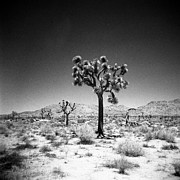 Holga Camera Prints - Joshua Tree Holga 1 Print by Alexander Snay
