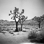 Holga Camera Prints - Joshua Tree Holga 8 Print by Alexander Snay