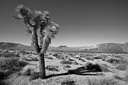Desert Plants Photos - Joshua Tree II by Peter Tellone