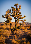 Desert Photography Posters - Joshua Tree Poster by Robert Bales
