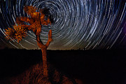 Big Tree Photos - Joshua tree Star Trails by Peter Tellone