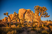 Desert Plants Photos - Joshua Tree Sunset Glow by Peter Tellone