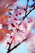 Sakura Prints - Joy of Spring. Pink Spring in Amsterdam Print by Jenny Rainbow