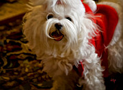 White Maltese Prints - Joy To The World Print by Lois Bryan