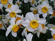 Jonquils Photos - Joyful Jonquils by Lingfai Leung