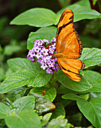 Julia Butterfly Acrylic Prints - Julia Butterfly On Purple Flower Acrylic Print by Diane E Berry