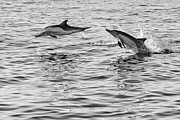 Jump For Joy - Common Dolphins Leaping. Print by Jamie Pham