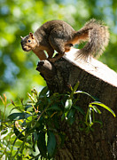 Eastern Fox Squirrel Metal Prints - Jump Metal Print by Optical Playground By MP Ray