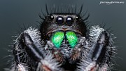 Jumping Spiders Prints - Jumpin Jack Black 2 Print by JFantasma Photography