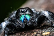 Jumping Spiders Prints - Jumpin Jack Black 3 Print by JFantasma Photography