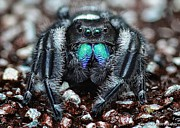 Jumping Spiders Prints - Jumpin Jack Black Print by JFantasma Photography