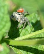 Jumping Spider Photos - Jumping Jack Is Back by Fraida Gutovich