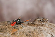 Francesco Tomasinelli - Jumping Spider Courting Female