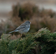 Snowbird Prints - Junco 2 Print by Cassandra Campbell