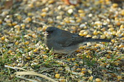 Lori Tordsen - Junco eating