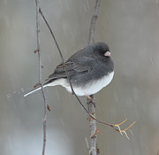 Richard Bryce - Junco in the Snow