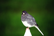 Fray Prints - Junco Print by Kathy J Snow